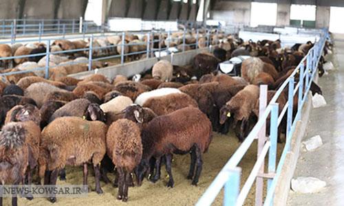 با احیای نژادهای بومی، صنعت پرورش گوسفند هم احیا میشود